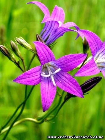 Народні легенди і оповіді про квіти